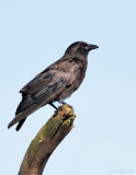 _NW86911 American Crow.jpg