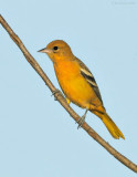 _NW87041 Baltimore Oriole at Sunset.jpg