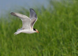 NW83298 Common Tern Chick in Flight.jpg
