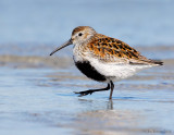 NW84450 Dunlin Spring Migrant at Point.jpg