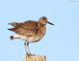 NW84847 Willet.jpg