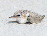 _NW80792 Least Tern Chick at Rest.jpg
