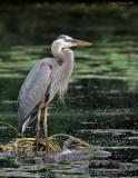 _NW80939 Great Blue Heron.jpg