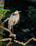 _NW80963 Great Blue Heron.jpg