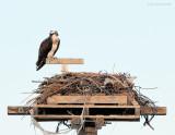 _NW81017 Female Osprey Arives First .jpg