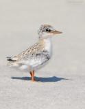 _NW81129 Least Tern Chick.jpg