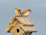 _NW81151 House Sparrows.jpg