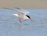 _NW81265 Common Tern About To Plunge.jpg