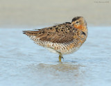 _NW81310 Dowitcher at Rest Spring Migration.jpg