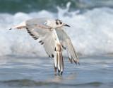 _NW81411 Bonapartes Gull.jpg