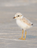 _NW81434 Piping Plover Chick at Goldenrod.jpg