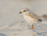 _NW81471 Piping Plover Chick at Goldenrod.jpg