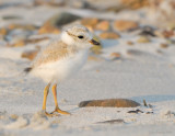 _NW81482 Piping Plover Chick at Goldenrod.jpg