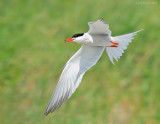 _NW81839 Common Tern.jpg