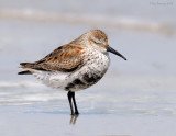 _NW82466 Dunlin Spring Migrant at Rest.jpg