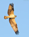 _NW84319 Juvenile Osprey Flight at Sunset.jpg