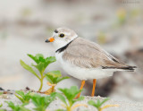 _NW86073 Piping Plover.jpg