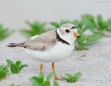 _NW86075 Piping Plover.jpg