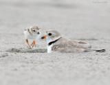 _NW86388 Piping Plover Parent and Chick.jpg