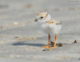 _NW88762 Piping Plover Chick at Goldenrod.jpg
