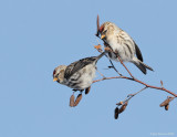 _NW86183 Common Redpolls
