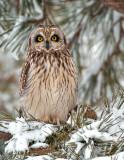 _JFF0883-Short-Eared-Owl.jpg