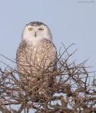 _NW91150 Snowy Owl in Snag A.jpg