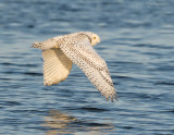 _NW91612 Snowy Owl in Flight.jpg
