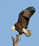 _NW06786 Male Bald Eagle On Nest Tree