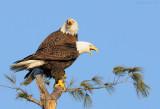_NW07697 Male and Female Bald Eagles Calling