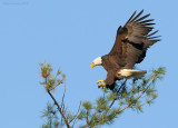 _NW09765 Bald eagle Returning Home