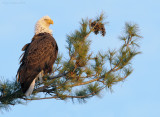 _NW09862 Bald Eagle Wet Head