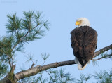_NW09940 Bald eagle Surveying Chicks in Nest