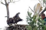 _NW05799 Bald Eagle Chicks See Climber