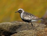 _JFF8998 Black Belly Plover on Rock ~ Salt Marsh.jpg