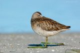 _JFF0567 Dowitcher sleeping on Sand Flats.jpg