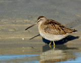 _JFF0680 Dowitcher at Tide Pool.jpg