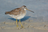 _JFF0684 Dowitcher Showing Feet.jpg