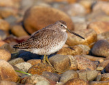 _JFF2800 Dowitcher in Rubble Bay Side.jpg