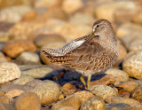 _JFF2815 Dowitcher Preen Rubble Bay Side.jpg