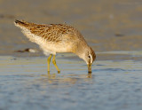 _JFF8043 Dowitcher Feeding Tidal Pool.jpg