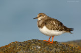 ruddy_turnstones