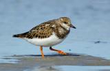 _JFF9995 Ruddy Turnstone on Beach Tidal Flats.jpg