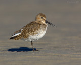 Raw24056 Dunlin at The Point.jpg
