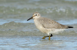 _JFF0018 Red Knot at Surf.jpg