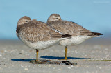 _JFF0571 Red Knot Pair.jpg