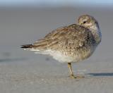 _JFF0795 Red Knot Nesting Sand Flat.jpg