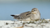 _JFF9977 Red Knot Upper Sandy Beach.jpg
