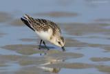 Raw24108 Sanderling Feeding Lower Sand Flat.jpg