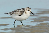 _JFF0104  Sanderling on Lower Sand Flat.jpg